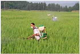水稻当前农事