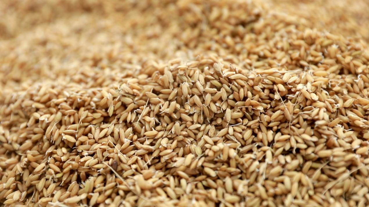 水稻种子碧生处理技术